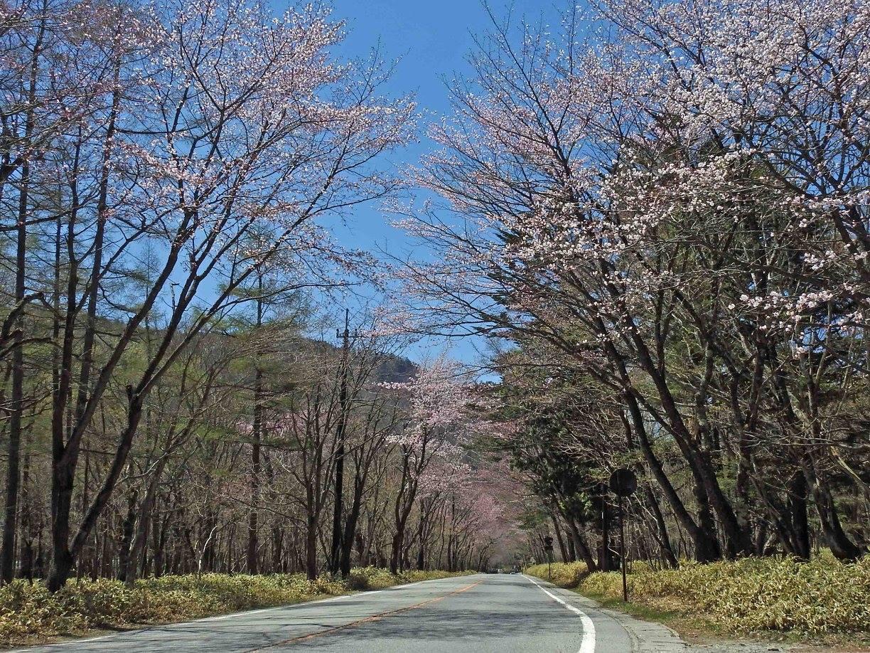 170508第一いろは坂上部桜並木.jpg