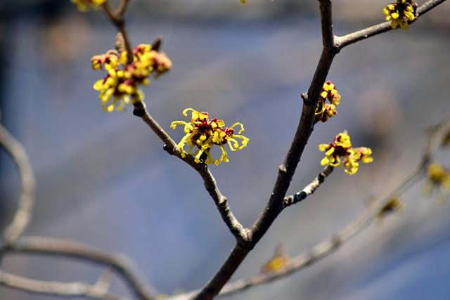 中禅寺湖畔でマンサク開花!
