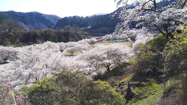 群馬県・水沼駅の桜が満開でした!