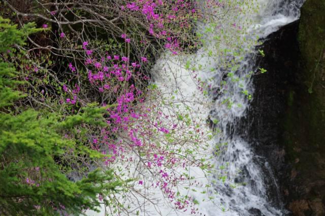 龍頭の滝トウゴクミツバツツジ