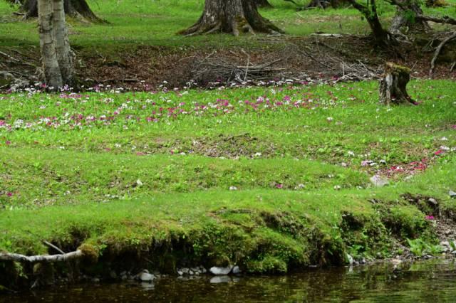 クリンソウとズミの開花状況