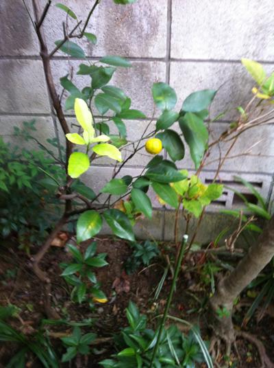 自宅で柚子が生りました.jpg