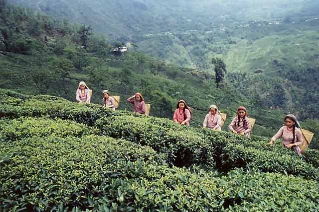 ダージリン茶摘み写真n.jpg
